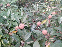 Fruits of Sapodilla - 1.jpg
