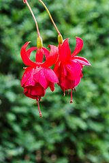 Fuchsia 'Santa Paula'.jpg