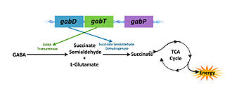 Gab operon - GABA degradation mechanism