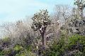 Galápagos prickly pear Santa Fe Island Galápagos Ecuador DSC00216 ed ad.jpg