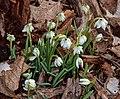 Galanthus nivalis Glendon.jpg