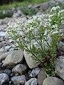 Galium anisophyllum Vill. (7477274514).jpg