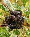 Galle sur salix dunensis (2).JPG