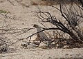 Gambel's Quail and Chicks (14274835995).jpg