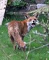 Garden fox 4 (3412444822).jpg