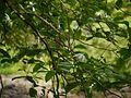 Gardenia resinifera Roth (14511763388).jpg