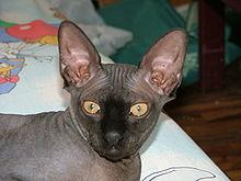 Bezsrstá kočička obrázky