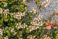 Gaultheria colensoi in Rangipo Desert 01.jpg