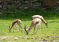 Gazella dorcas.JPG