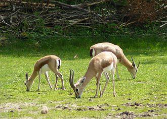 Dorcas gazelle - Dorcas gazelles