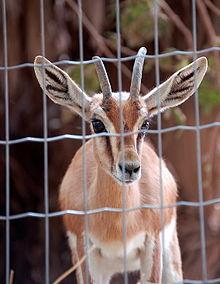 Una gazzella all'interno di una gabbia in uno zoo.