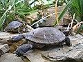 Geelwangschildpad + roodwangschildpad.jpg