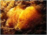 Geitodoris heathi 1.jpg