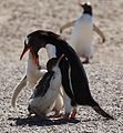 Gentoo Penguin chick getting fed (5557122315).jpg
