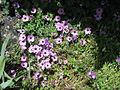 Geranium cinereum002.jpg