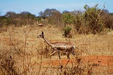 Gerenuk antelopes in Tsavo East.jpeg