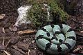 Gfp-banded-rock-rattlesnake.jpg