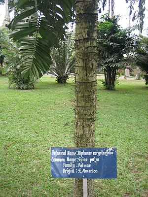 A spine palm (Aiphanes horrida, Synonym Aiphan...