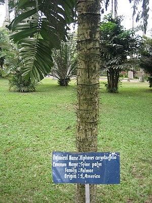 A spine palm (Aiphanes horrida, Synonym Aiphan...