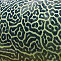 Giant Pufferfish skin pattern detail.jpg