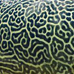 Giant pufferfish skin Giant Pufferfish skin pattern detail.jpg