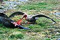 Giant petrel.jpg