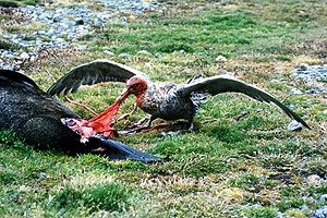 Giant petrel - Giant petrel feeding on a seal carcass in South Georgia