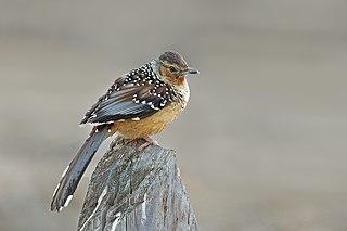 <i>Ianthocincla</i> Genus of birds in the Leiothrichidae family