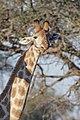 Giraffa cameleopardalis (28265611546).jpg