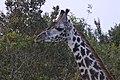 Giraffa camelopardalis in Kenya 14.jpg
