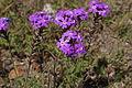 Glandularia aristigera flowers2 (14438489209).jpg