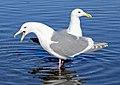 Glaucous-winged Gull pair.jpg