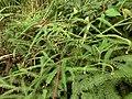 Gleicheniaceae 1 Costa Rica.jpg