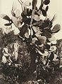 Gloeden, Wilhelm von (1856-1931) - n. 0062 - da - Paradis sicilien p. 25.jpg
