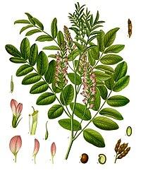 Glycyrrhiza glabra - Köhler–s Medizinal-Pflanzen-207.jpg