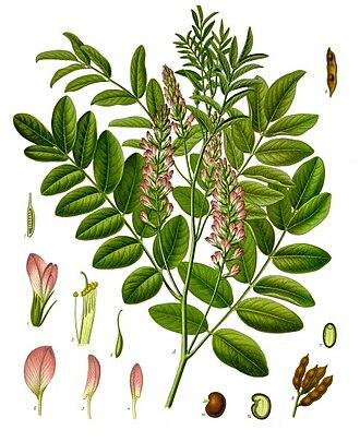 Glycyrrhiza - Glycyrrhiza glabra