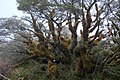Gnarly tree with mosses on a foggy day.jpg