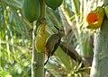 Golden-fronted Woodpecker (16334663900).jpg