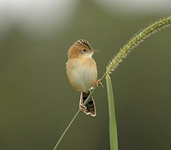Golden-headed Cisticola94.JPG
