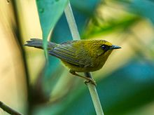 Golden Babbler - Bhutan.jpg