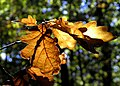 Golden oak - Flickr - Stiller Beobachter.jpg