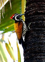 Goldenbacked woodpecker.jpg