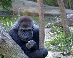 Male silverback gorilla at Cicinnati Zoo.