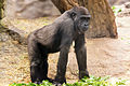 Gorilla Posed on Four Legs (18225507964).jpg