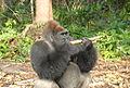 Gorilla gorilla03.jpg