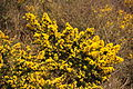 Gorse west of Hannafore (0766).jpg