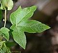 Gossypium arboreum in Jardin botanique de la Charme 03.jpg