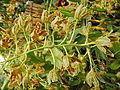 Grammatophyllummultiflorumjf9289 06.JPG