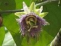 Granadilla (Passiflora ligularis) - Flickr - Alejandro Bayer.jpg