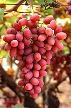 For reverting vandalism on Tupac Shakur and for inventing the vandal-script you get a bunch of grapes. Enjoy. :) Sam Vimes 22:31, 11 November 2005 (UTC)
